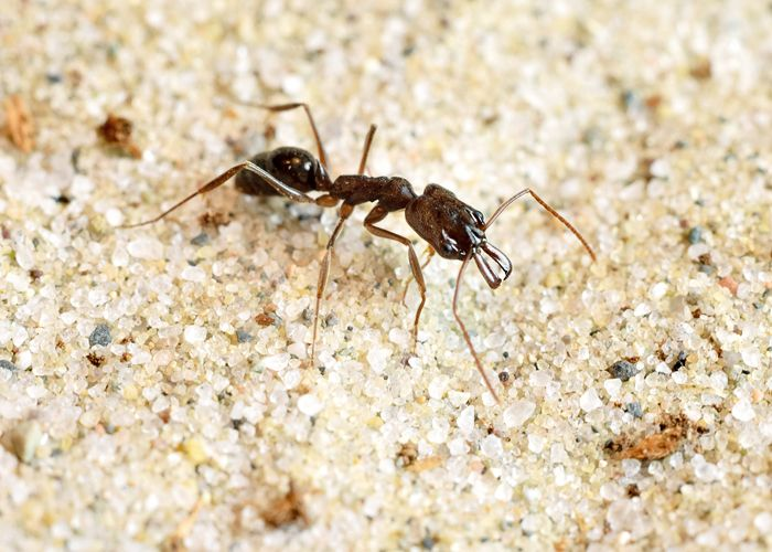 The trap-jaw ant species Odontomachus brunneus is the champion boxer, striking…