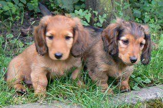 Nový člen psí smečky - Dogsite - Inzerce psů, psí plemena, články ...