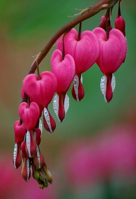 My Grandmother use to have these at you house, I forgot what they are called. I think bleeding hearts or something. I know I loved them.