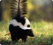 Striped skunk-mephitis mephitis, weight 3.25kg, length 57.5-80cm, life 3 years in the wild, 15 in captivity. FACT: the srtiped skunk seems to be aware of the repulsiveness of its own odor, it will not spray in confined spaces or in their own dens