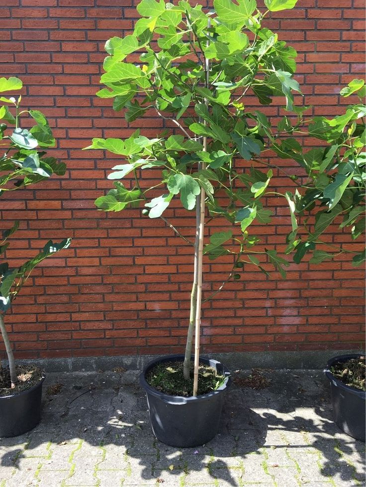 Figentræ stort, Brown turkey, Storfrugtet figentræ, bærer figner på størelse med pærer. Et dekorativt træ velegnet til plantning i orangeri, havestue, krukke eller i haven, gerne på en solrig plads, jo mere varme jo flere store figner, stort udbytte kan forventes når træet har lidt alder. Tåler frost. Bør dog i hårde vintre ved udplantning dækkes af eller plantes et sted hvor det ikke blæser.Ved plantning i krukke stilles denne inden døre eller i havestue om vinteren, ikke nødvendigvis…
