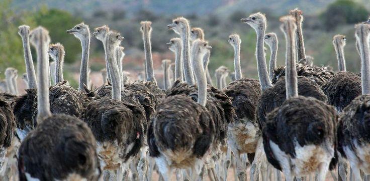 ostriches Klein Karoo Cango