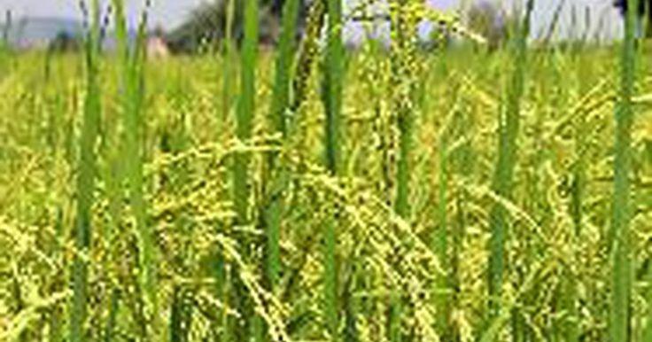 Propiedades de las cenizas de la cascarilla de arroz. La ceniza de la cascarilla de arroz, o RHA (por sus siglas en inglés), es un producto de la quema de la cascarilla de arroz, que es usado en una amplia gama de aplicaciones, desde mejoradores del suelo y pesticidas a los absorbentes de derrames de petróleo y materiales de aislamiento. Es el resultado de la combustión de cáscaras de arroz en ...