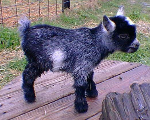 One day: Nigerian Dwarf Goat :)