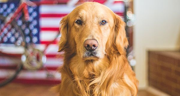 Celebration Safety Calming Your Dog During Firework Season Dogs Golden Retriever Military Dogs