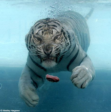 Tiger diving. I don't care how aggressive they may be, they're some of the prettiest creatures in the world