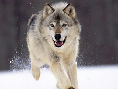Fotos de Lobos Cinzentos - Lobo Comum | Fotos Plus