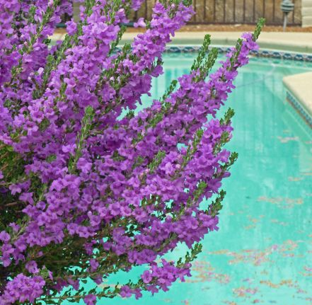 Arizona bush with purple flowers