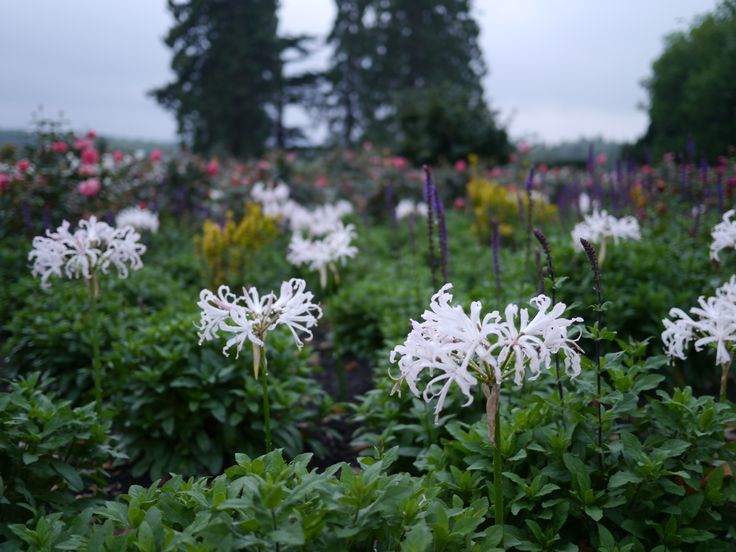 White Nerines planted with hardy Salvia 'Caradonna'