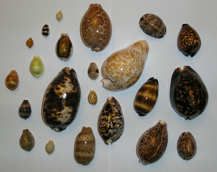 he shells of cowries are usually smooth and shiny and more or less egg-shaped, with a flat under surface which shows a long, narrow, slit-like opening (aperture), which is often toothed at the edges. The narrower end of the egg-shaped cowry shell is the anterior end