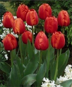 425 Best Tulips Images On Pinterest