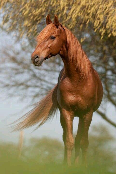 Chestnut   Horses   Pinterest - photo#25
