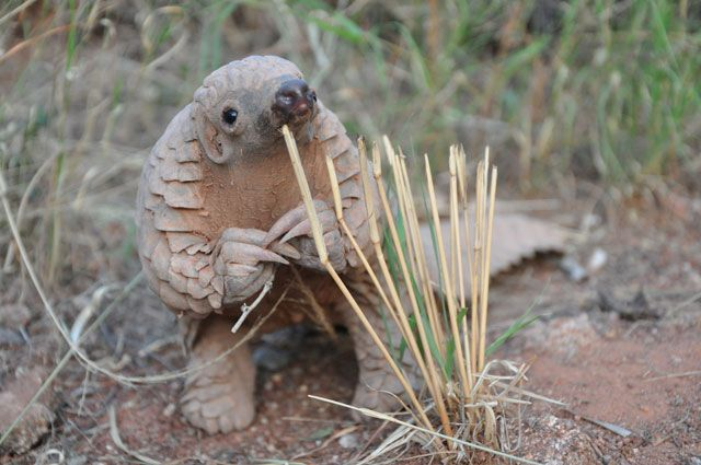 This baby pangolin wants to talk to you about something important. - more at megacutie.co.uk
