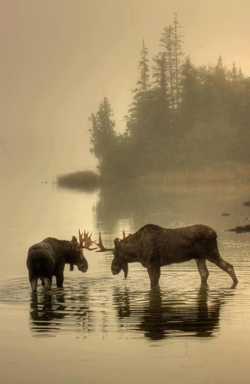 Moose in the mist of Algonquin Park, Ontario Canada