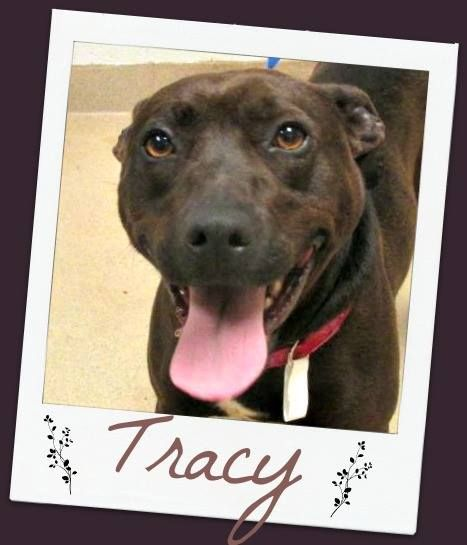 TRACY- Labrador Retriever/Boxer  Wayne County Humane Society  Wooster, Ohio (AS)  For more information on this adoptable pet, please contact the shelter directly. Meet Tracy! She currently weighs 40 pounds. She is a unique breed mixture. We think she is a mix of lab, boxer and some kind of spaniel. She is very loving though. She loves lots of attention.  Tracy shows signs of being house trained and loves to go for long walks.