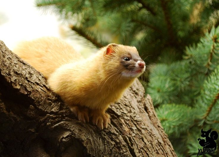Ideal Living a Life In Asia The Siberian Weasel
