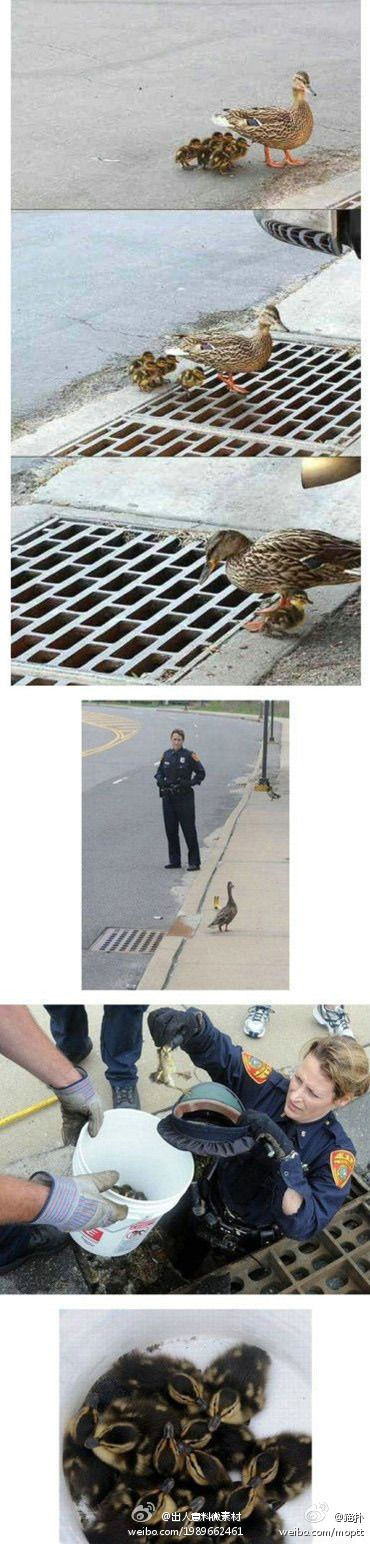 More photos of the duck who lost her ducklings through the sewer grate(I've only seen the first 3 before)