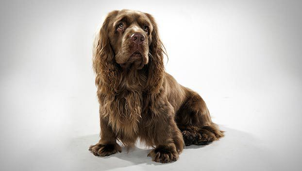 The Sussex spaniel tends to be less playful and demonstrative than other spaniels, with a lower energy level. This makes it better suited for city life, but it still appreciates the chance to take to the wilds and hunt up birds. At home it is calm, steady and easygoing, although it may be aggressive to strange dogs. Its somber expression is misleading because it is quite cheerful.