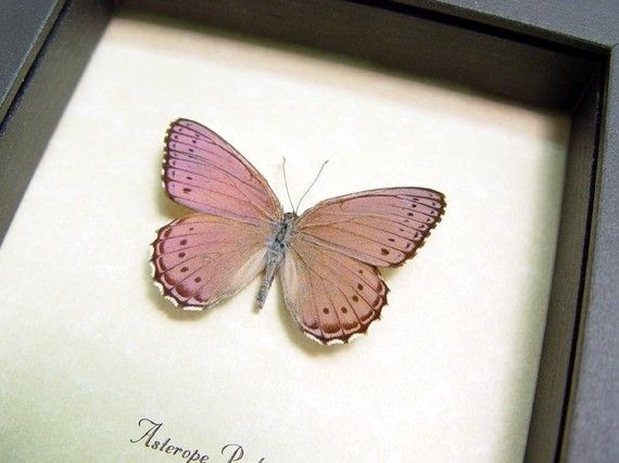 Real Framed Shimmery Butterfly Conservation by REALBUTTERFLYGIFTS, $39.99