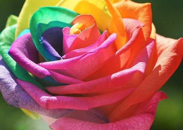 虹色の奇跡♡『レインボーローズ』が目を疑うほど美しい*のトップ画像 - http://marry-xoxo.com/articles/1425