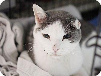Brooklyn, NY - Domestic Shorthair. Meet Mr. T, a cat for adoption. http://www.adoptapet.com/pet/15344649-brooklyn-new-york-cat