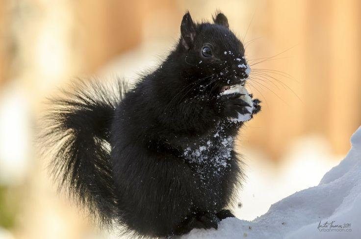 Black Squirrel | by Anita Thomas