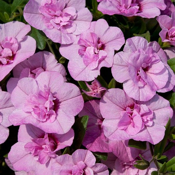 Le Veon Bell >> Double Calibrachoa 'Can Can Light Pink' Million Bells ...
