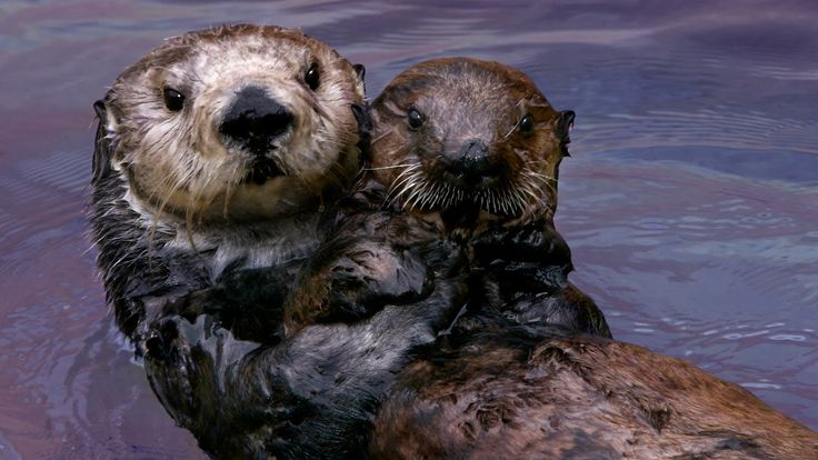 Why Sea Otters Hold Hands & Wrap Pups in Seaweed | Nature | PBS                                 Stephanie----------This is the one to show!