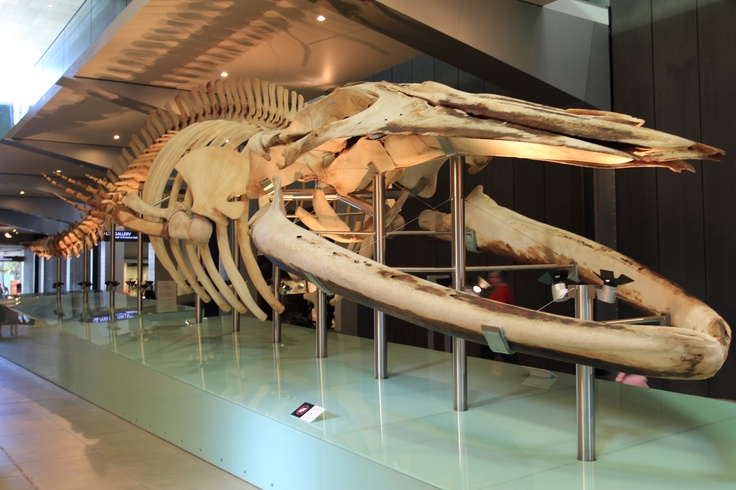 Whale Skeleton at Melbourne Museum