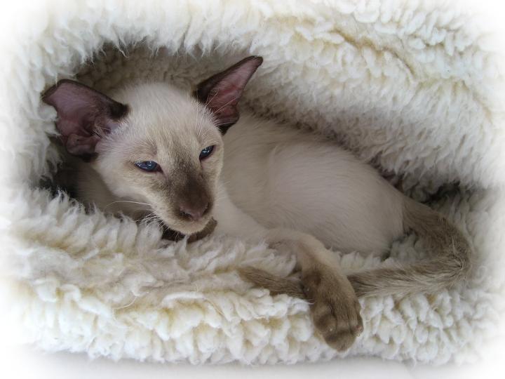 Wisconsin Koblizek Siamese Kittens | Siamese Kitten Pictures