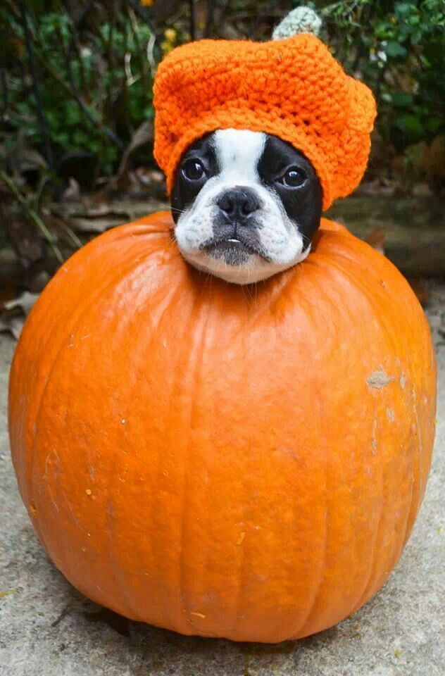 """What was I thinking?"" #dogs #pets #BostonTerriers #puppies Facebook.com/sodoggonefunny"