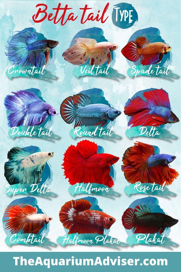 Betta Fish Type In 2020 Betta Fish Types Betta Fish Breeding Betta Fish