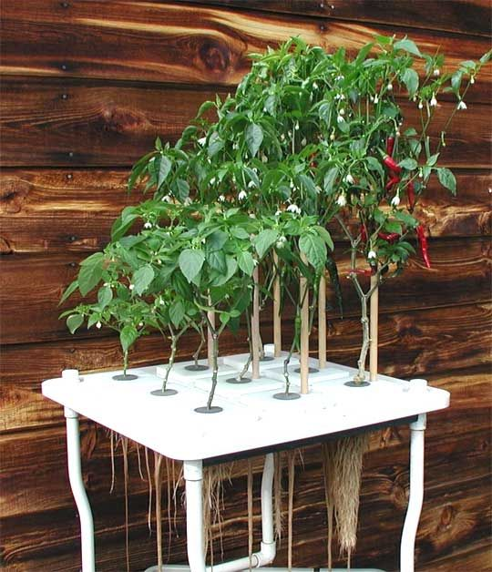 Home Hydroponic Peppers. Photo