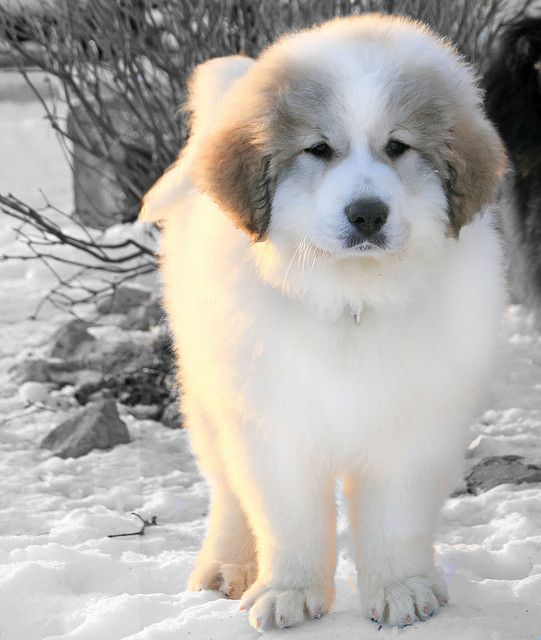 OH I SO WANT THIS BREED Great Pyrenees Puppy