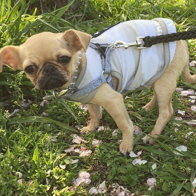 _  ヨーダのモノマネが得意です🐽🤘🏼w  #パグ #チワワ #パグミックス #チワワミックス #雑種 #犬 #ミックス犬 #ペット #愛犬 #ぶさかわ #ぶさかわ犬  #いぬすたぐらむ #ヨーダ  #犬のいる暮らし #犬バカ部 #pug #chihuahua #mix #dog #mutt #cat #dogs #dogstagram #doglover #dogoftheday #lovedogs #instadog #🐶 #🐕 #🐩