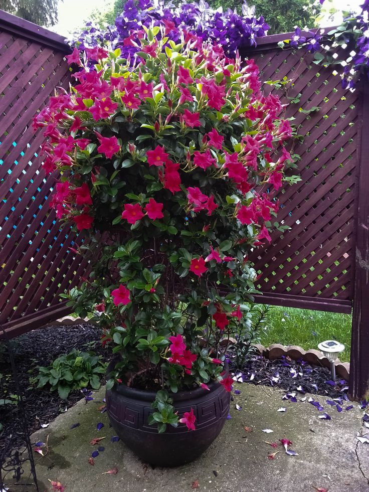 Dipladenia Potted Dipladenia Planting Flowers Plants