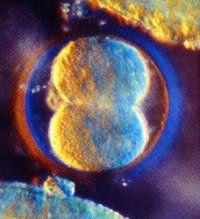 El Desarrollo prenatal - Monografias.com