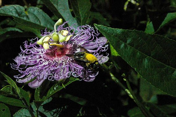 Passionflower Herbal Tincture Passiflora Incarnata Wildcrafted Sustainably Harvested Botanical Extract Flowering Vines Passion Flower Plants