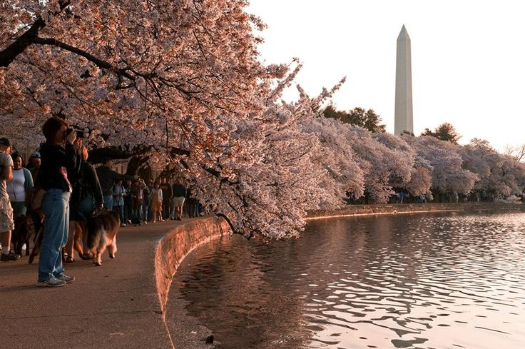 O Festival Nacional da Flor de Cerejeira não é apenas uma celebração da chegada da primavera, mas é também o maior festival cultural da região