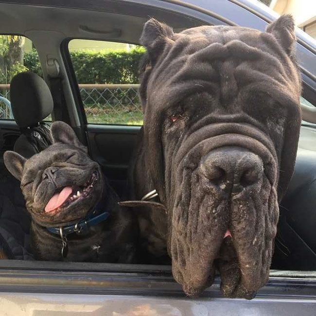 A Massive Bull Mastiff and his Little French Bulldog Brother❤   I would totally name them like, BonJovi and Boss !