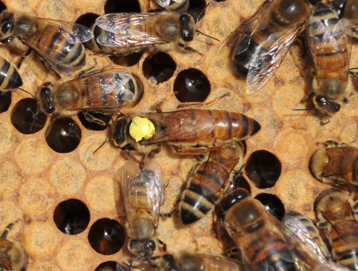 Honey Bees For Sale 2016 - Honeyfields Bee Farm | Beekeep ...