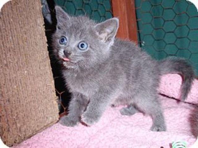 Adorablescottishfoldkittensforsale Scottish Fold Kittens Kittens Kitten For Sale