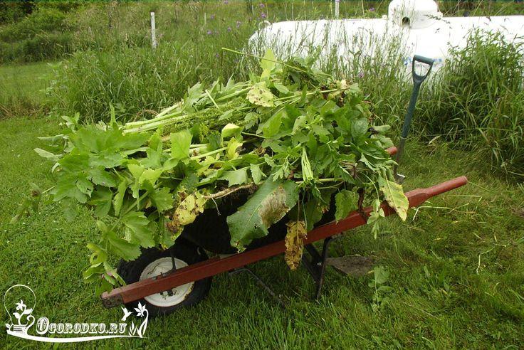 Как победить 5 самых живучих сорняков.    Борщевик, пырей, сныть, мокрица, осот – «горячая пятерка» самых живучих сорняков. Вот советы, которые помогут избавиться от них на дачном участке.    Борщевик  Cорняк-гигант, может вырастать до 3–4 метров! Подавляет все растения в метровой зоне от стебля. Но это полбеды. Борщевик опасен для здоровья людей – волоски, покрывающие его ствол, выделяют ядовитый сок. Этот сок, попадая на кожу, вызывает сильнейшие, плохо заживающие ожоги.  Способы борьбы…