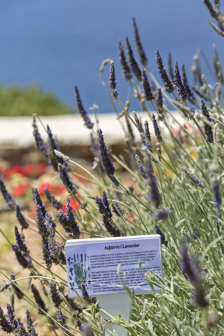 Basil, lavender, thyme and rosemary are some of the herbs you will find wandering in our blossomed gardens! #ArchipelagosMykonos #ArchipelagosLiving #Smallluxuryhotels #herbs #nature #organic #herbsgarden