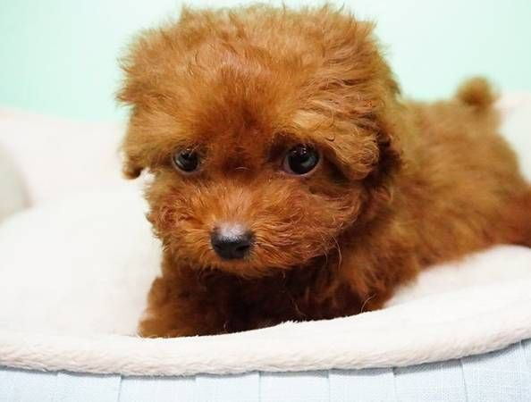 Poodle Pup Great Pedigreedÿ œ Metal Dog Kennel Baby Puppies Pup