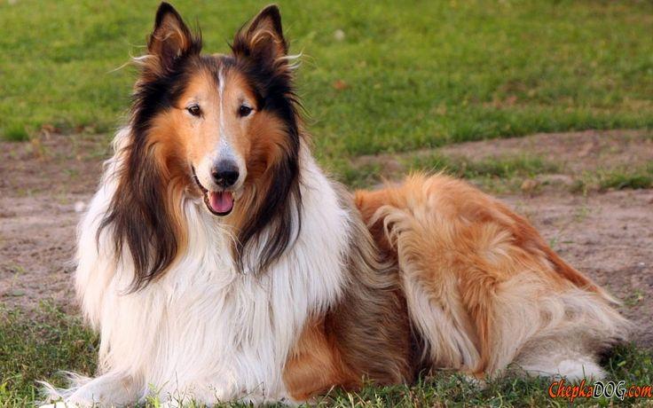 Collie niedlichen Hund Foto