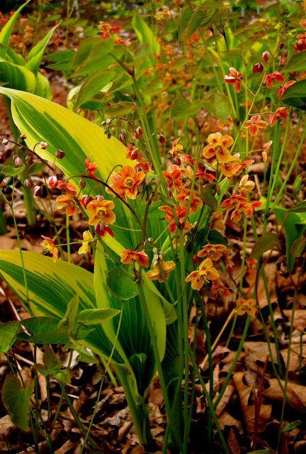 Epimedium x warleyense, Hosta montana 'Aureo-marginata'