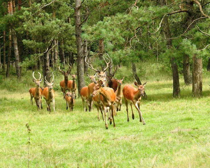 Kudde edelherten komt uit het bos gerend. - Zoogdieren - Edelhert
