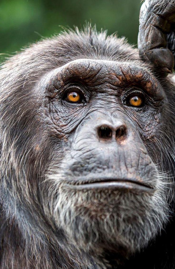 En langue congolaise, chimpanzé signifie « faux-homme ». Nous partageons 98% de nos gènes avec le primate. Mais ce lien de parenté ne nous empêche pas de nuire à l'espèce en détruisant son habitat ou en la braconnant…