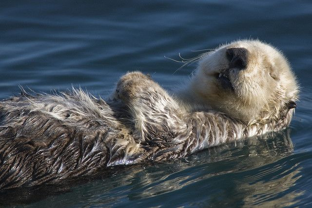 Adult Sea Otter (Enhydra lutris)  in Morro Bay, CA - This is one of my better photos by mikebaird, via Flickr